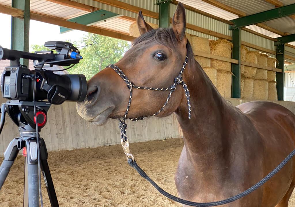 Die kleine Stute Cookie schnuppert an einer Videokamera
